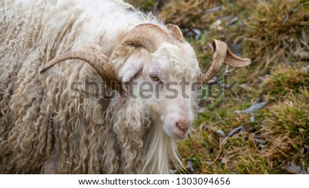 The Angora goat is a breed of domestic goat that originated in Ankara, Turkey and its surrounding region in central Anatolia. Angora goats produce the lustrous fibre known as Mohair