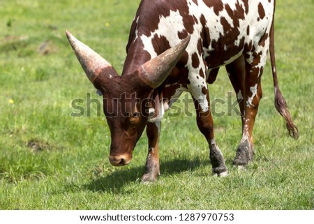 The Ankole-Watusi baby cattle walking on the grass at Parc Safari in Hemmingford, Quebec, Canada #1287970753