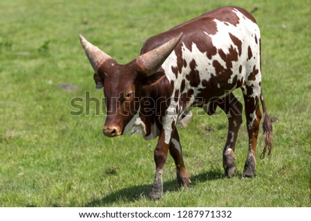 The Ankole-Watusi baby cattle walking on the grass at Parc Safari in Hemmingford, Quebec, Canada #1287971332