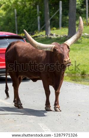 The Ankole-Watusi cattle walking around cars at Parc Safari in Hemmingford, Quebec, Canada; here tourists can drive in their own vehicles to observe animals. #1287971326