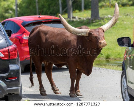 The Ankole-Watusi cattle walking around cars at Parc Safari in Hemmingford, Quebec, Canada; here tourists can drive in their own vehicles to observe animals. #1287971329