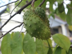 The Annona muricata. Soursop fruit, dark green and prickly. The shape is ovoid. The flesh is juicy, sour, white in color and aromatic. The leaves are oval, shiny dark green.
