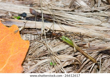 The ant drags the big larva in an anthill