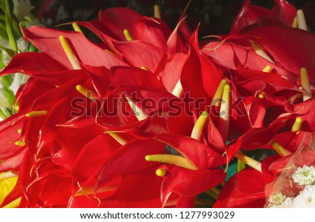 The anthurium is a popular exotic tropical indoor plant that stands out for having a very colorful inflorescence of red color #1277993029