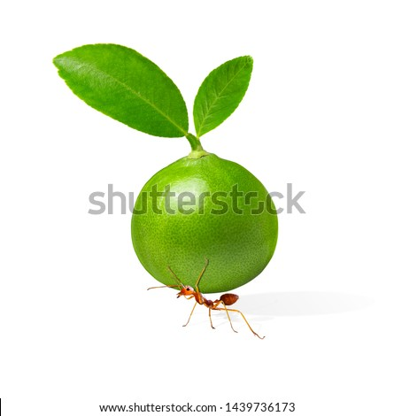 The ants try to lift the lime. the ants are carrying lemon. Concept effort and patience, hard work.isolated with clipping path.hard work