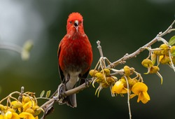 The Apapane is an endemic bird in the Hawaiian Islands.  It feeds on native flowers and blossoms in trees.  It is found at elevations on the islands, a striking deep red color. It is endangered.