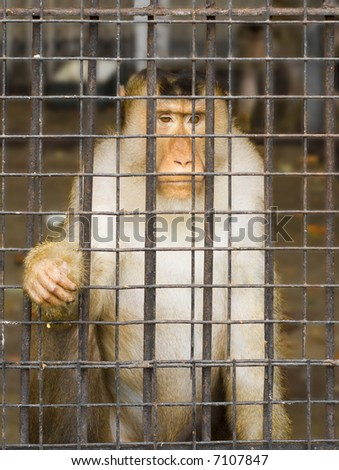 The ape in the cage