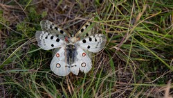 The Apollo (Parnassius apollo) is a large butterfly living in the mountains of western Europe. White insects punctuated with black and red. Passion for entomology in the south of France