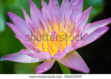 The appearance of a purple lotus flower is a beautiful symbol of the appearance of a purple lotus flower is a beautiful symbol of buddhism mightylinksfo