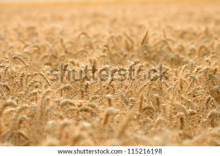The appearance of wheat field in the late afternoon