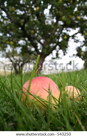 The apple does not fall far from the tree stock photo