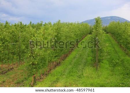 The apple orchard. (Osoyoos, B.C.)