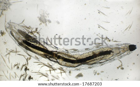The aquatic (water dwelling) larval stage of a fly