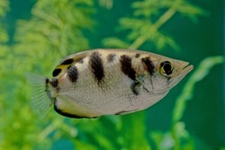 The archerfish (spinner fish or archer fish) form a monotypic family, Toxotidae, of fish known for their habit of preying on land-based insects and other small animals by shooting them down with water