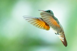 The architecture of the wing permits hummingbirds to fly not only forward but also straight up and down, sideways, and backward and to hover in front of flowers as they obtain nectar from flowers