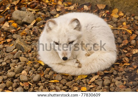 The Arctic Fox is Iceland's only native mammal.