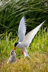 The Arctic Tern, feeding it´s young. Flatey Island, Iceland