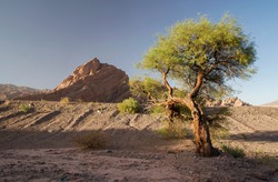 The arid desert. view of a lonely tree growing in the deserted landscape. The sand and sandstone mountains at sunset.