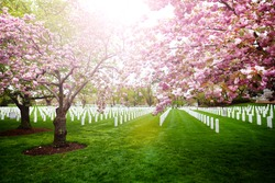 The Arlington National Cemetery tombstones with blooming cherry trees, Virginia, USA