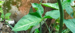 The Arrowhead (Syngonium podophyllum) is native to the tropical rain forests in Central and South America. Its common name, Arrowhead Plant, is derived from the spade-like shape of its leaves.