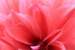 The Art of Flower Photography. Charming Feminine Pink, Red and fresh dahlia flower macro photo