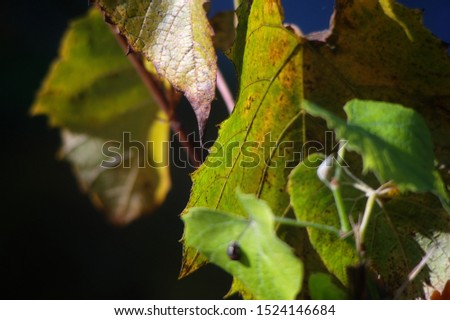 The art of soft focus. Autumn yellowed leaves on a dark background. Zdjęcia stock ©