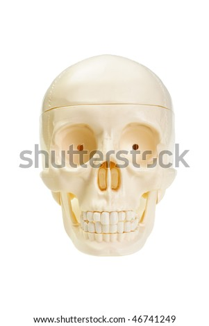 The artificial skull is isolated on a white background