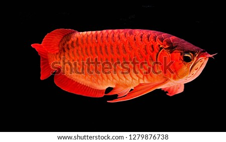 The Asian arowana, dragon fish (Scleropages formosus) on isolated blue background. The red dragon fish is found in northern Sumatra, Indonesia.