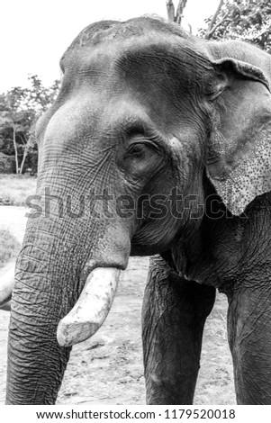 the asian elephant  elephas...