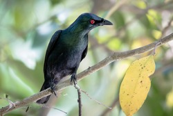 The Asian Glossy Starling with bright red eyes light up the glossy plumage of this beautiful bird. It was photograph in natural habitat.