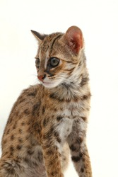 The asian leopard cat or Sunda leopard cat (Prionailurus bengalensis javanensis) isolated on white background