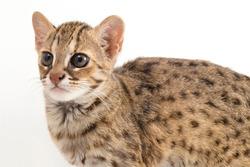 The asian leopard cat or Sunda leopard cat (Prionailurus bengalensis) Prionailurus javanensis isolated on white background
