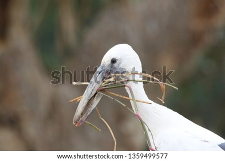 The Asian openbill stork is found mainly in the Indian subcontinent and Southeast Asia.The name is derived from the distinctive gap formed between their beaks, is collecting nesting material .