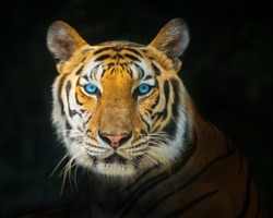 The Asian tiger.