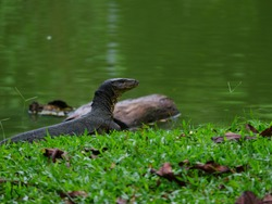 The Asian water monitor, also called common water monitor. Selective focus.