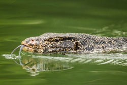 The Asian water monitor (Varanus salvator salvator) swimming in the water and putting out his tongue, Sri Lanka