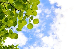 The aspen green leaves on a background of blue sky and clouds