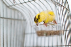 The Atlantic canary bird Serinus canaria , canaries, island canary, canary, or common canaries birds perched on a wooden stick against lemon trees inside huge cage as captive pet in Spain.
