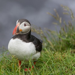 The Atlantic puffin (Fratercula arctica), also known as the common puffin, is a species of seabird in the auk family.