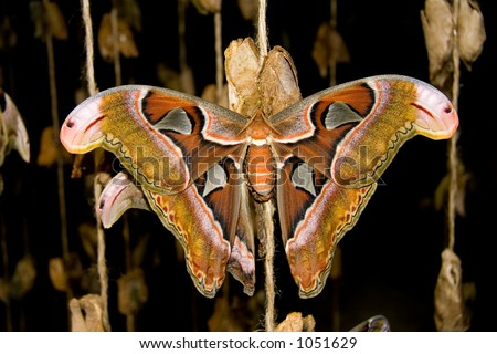 The Atlas Moth (Atlas attacus) is the largest moth in North America