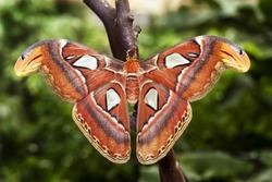 The Atlas moth (Attacus atlas).