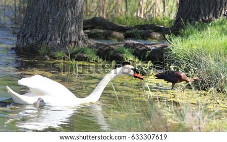 The attack of the mute Swan on the glossy Glossy Ibis #633307619