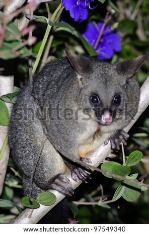 The Australian brushtailed possum sits on a forest tree branch at night in New Zealand.