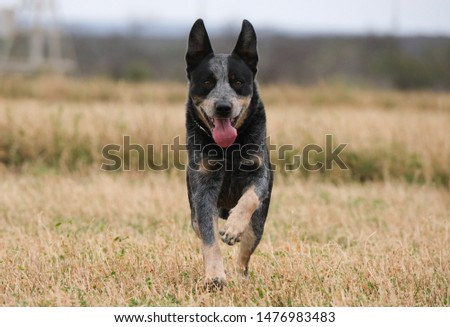 The Australian Cattle Dog, or simply Cattle Dog, is a breed of herding dog originally developed in Australia for droving cattle over long distances across rough terrain.  #1476983483