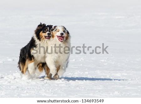 the Australian shepherds plays on a snow field