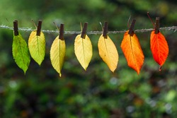 The autumn leaves transition from green to red on wooden clothespins and lace. The concept of changing the season.