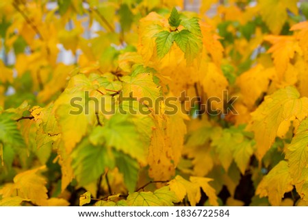 the autumn tree foli about close-up, background Stock fotó ©