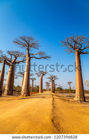 The Avenue of the Baobabs near Morondava, Madagascar.