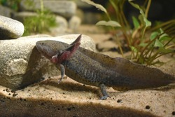 The axolotl (Ambystoma mexicanum), also known as the Mexican walking fish, is a neotenic salamander related to the tiger salamander. The species was originally found in several lakes, near Mexico City