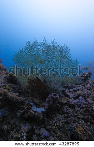 The Azooxanthellate Coral (Acabaria Biserialis), Maldives Stock ...